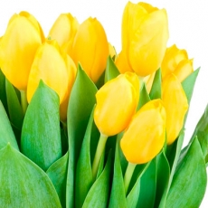 Dutch tulip yellow